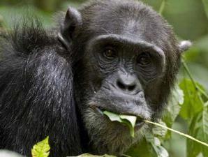 Jean-Michel Krief Simpanse di Taman Nasional Kibale, Uganda makan tanah dan duan-daunan yang berkhasiat untuk kesehatannya.