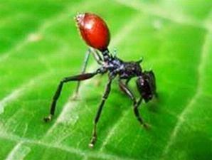 University of Arkansas/University of California Berkeley Perut semut hitam di Panama menjadi merah seperti buah ceri matang karena pengaruh cacing nematoda yang menginfeksinya dan 'terpaksa nungging' sehingga menarik perhatian burung.